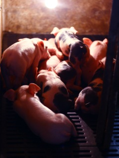 Piglets in Colombia